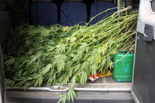 Odkryli dużą plantację marihuany