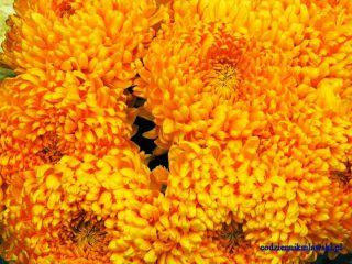 Jesień ze złocistą chryzantemą