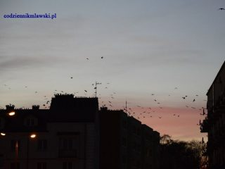 Czarni i hałaśliwi władcy nocnego nieba nad Mławą