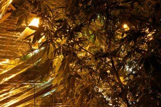 Poszukiwany przez policję za uprawę i wytwarzanie marihuany zatrzymany