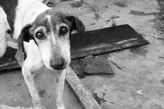 Dwa psy zagłodziła właścicielka w Strzegowie
