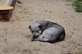 Kolejny bezdomny piesek znaleziony w Mławie. Siwy mieszaniec czeka na dom