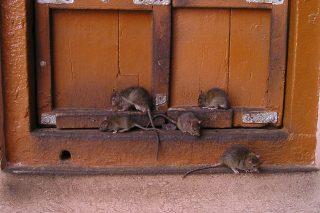 Wyrzucając resztki jedzenia dokarmiasz szczury