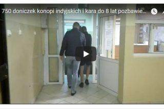 CBŚP: zlikwidowano nielegalną plantację konopi na terenie gminy Iłowo-Osada. Zobacz nagranie