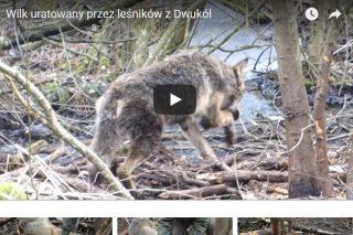 Leśnicy uwolnili wilczycę z wnyków