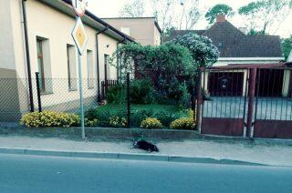 Martwy pies długo leżał na ulicy, potem na chodniku