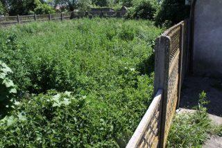 Gm. Radzanów. Ujawniono plantację marihuany o wartości ponad 210 tysięcy