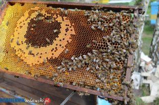 Mławskie smutne święto pszczoły
