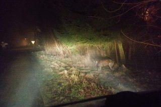 Wilk na nocnych zwiadach w pobliżu Mławki