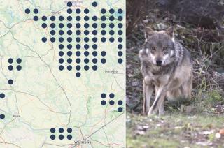 Coraz więcej wilków. Pojawiają się nawet w okolicach miast