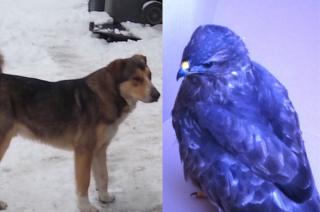Znaleziony ranny jastrząb i zabłąkany pies