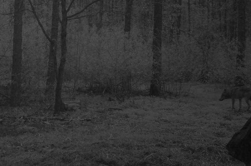 Zobacz wilka w obiektywie leśnej kamery