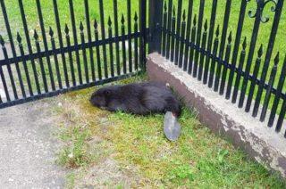 Uratowali poturbowanego bobra