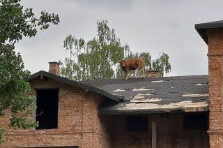 Nietypowa akcja straży. Zdejmowali krowę z dachu