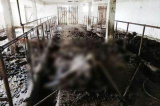 Horror w gospodarstwie pod Chorzelami. Rolnik zagłodził zwierzęta [Uwaga! Drastyczne foto!]