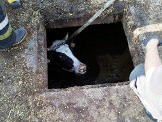Zawady. Krowa wpadła do szamba, uratowali ją strażacy