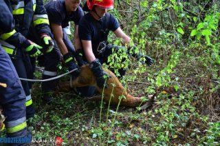 Wojnówka. Strażacy uratowali koziołka, który wpadł do studni [zobacz foto i film]