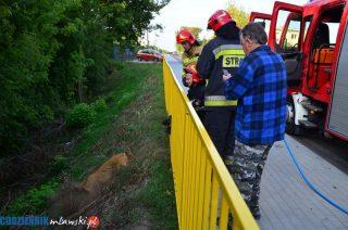 Uwięziony w barierze koziołek. Pomogli strażacy
