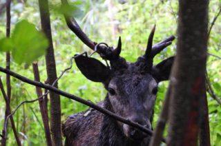 Uratowali jelenia skazanego na śmierć [zobacz film]
