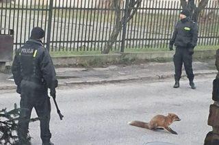 Przasnysz. Potrącony lis w środku miasta