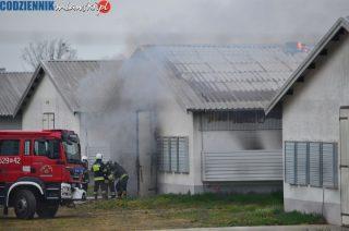 Pożar kurnika w Starych Kosinach. W akcji osiem zastępów straży [zobacz foto]. Aktualizacja