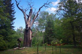 Obumarł Chrobry, jeden z najstarszych w Polsce dębów