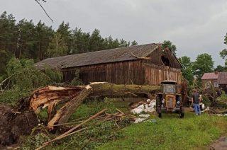 Gmina Chorzele. Drzewo przewróciło się na budynek i przygniotło 7 jałówek