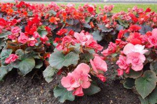 """Prawie 1000 kwiatów trzeba posadzić, by wypełnić napis""""I♥MŁAWA"""""""