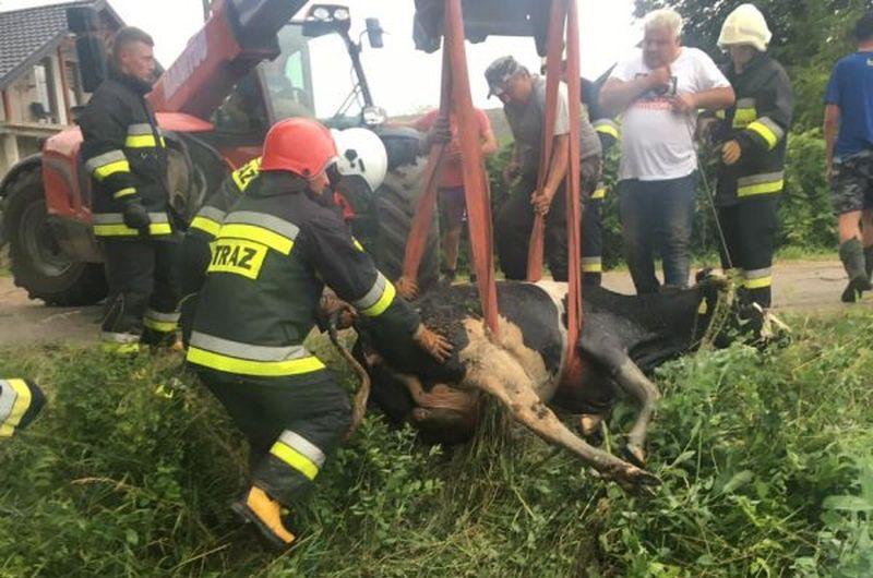 Strażacy uratowali tonącą krowę [FOTO]