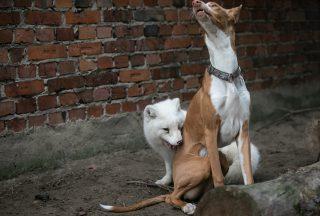 Dzień Psa: Zabawa, zawieranie przyjaźni, ciekawość – zobacz, co łączy psy i lisy!