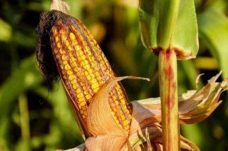 Krzynowłoga Mała. Na trzy hektarowym polu powbijali gwoździe w kolby kukurydzy