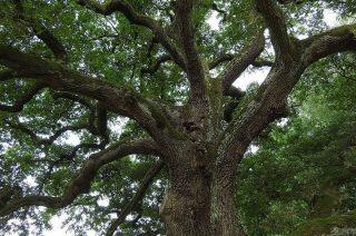 Gmina chce wyciąć stare, olbrzymie drzewa