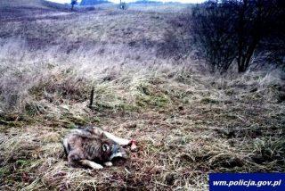 Uratowali wilka od niechybnej śmierci