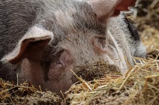 Rolnikowi padło prawie pół tysiąca świń. Dlaczego?