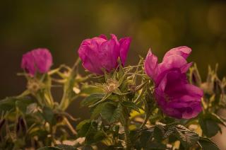 Ciechanów sadzi róże i fiołki. Pozyskał na to 200 tys. zł