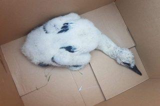 Szreńscy druhowie znów uratowali bociana